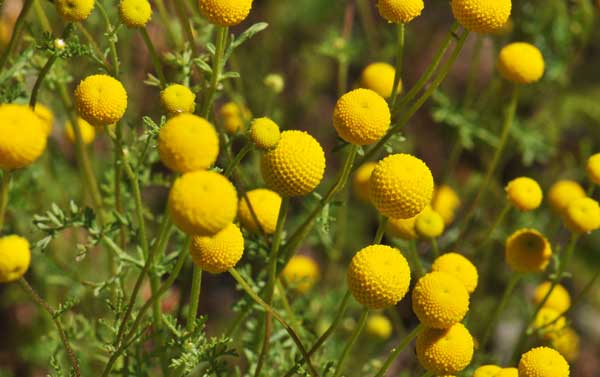 globe camomile in arizona